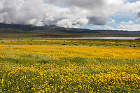 Wildflowers bloom in the low lying hills surrounding Soda Lake in California's Carrizo National Monument