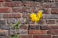 Yellow flower and brick wall.