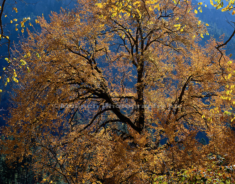 """Oak detail, Yosemite Valley, Yosemite National Park"