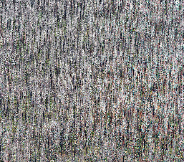 Remnants from one of Yellowstone's many wild fires, photographed during an aerial shoot of the park.