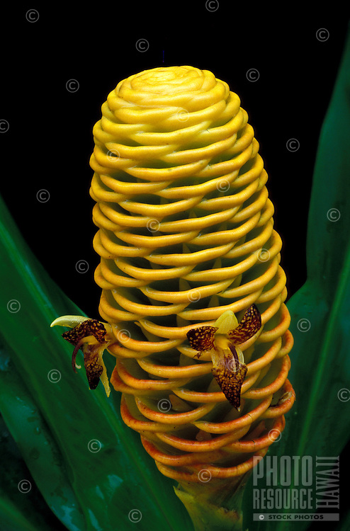 The bract of golden beehive ginger (Zingiber spectabile or spectabilis ginger) with some flowers and leaves