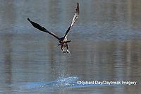 00807-03818 Bald Eagle (Haliaeetus lecocephalus) immature fishing Clinton Co. IL