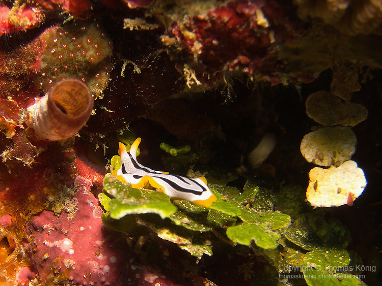 Kenting, Taiwan -- Unidentified flatworm of the Pseudoceros species on sea grass.<br />