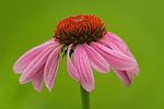 Purple Coneflower wildflower