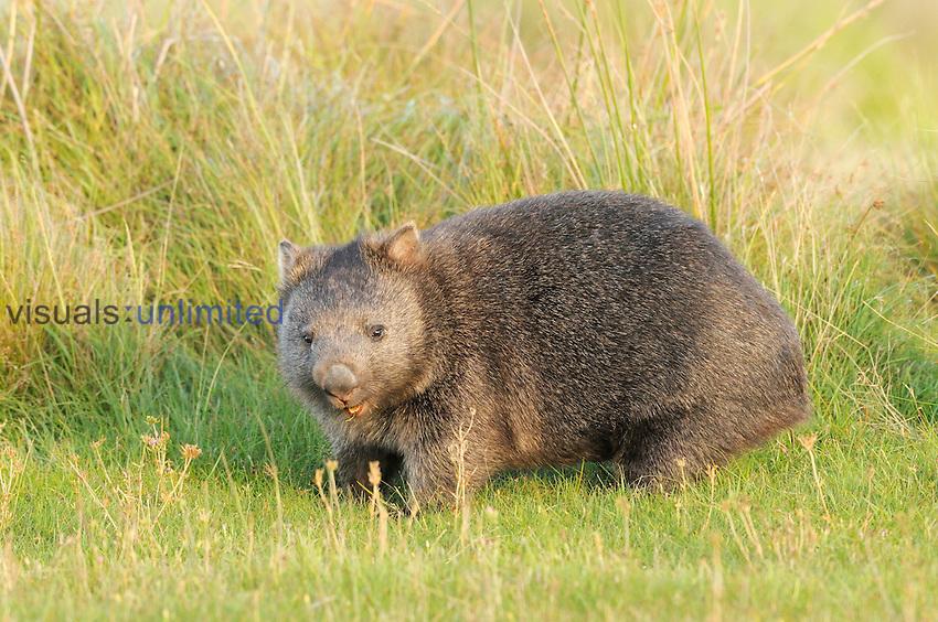 Common Wombat (Vombatus ursinus), Tasmania, Australia