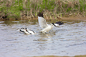 Pied avocet (Recurvirostra avosetta) defending breeding territory, by standing on the head of the rival and dunking them under for as long as they can, usually not more than a couple of seconds. The Avocet colonised Britain when coastal marshes in East Anglia were flooded to provide a defence against possible invasion by the Germans.