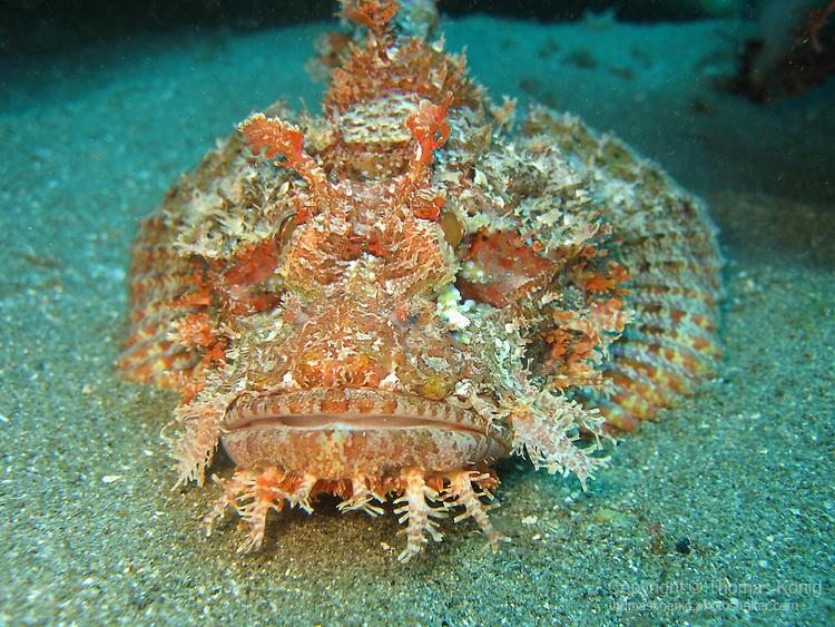 Orchid Island, Taiwan -- Tassled scorpionfish lying on a sandbank.