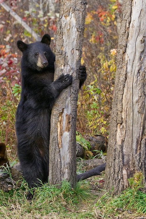 Black Bear cub clinging to a tree
