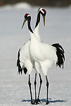 Red Crowned Crane, Grus japonensis, pair, displaying, dancing, together, Hokkaido Island, japanese, Asian, cranes, tancho, crested, white, black,  wilderness, wild, untamed, photography, ornithology, snow, graceful, majestic. .Japan....