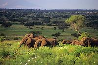 African Elephant herd (Loxodonta Africana) feeding in Tarangire National Park, Tanzania.