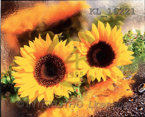 Interlitho, Alberto, FLOWERS, portrait, macro, photos, sunflowers, KL, KL16221,#F# Blumen, flores, retrato