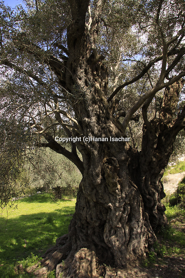 Israel, Shephelah, the ancient Olive tree in Beth Gemel