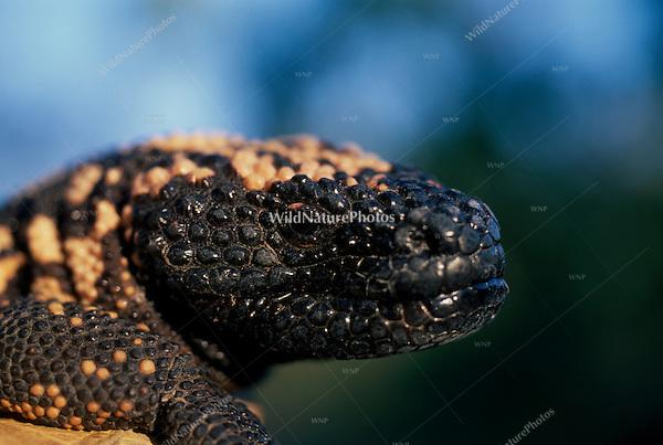 Gila Monster, Heloderma suspectum, portrait