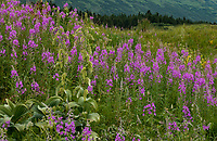 Veratrum viride, False Hellebore flowering with Fireweed and summer wildflowers at Turnagain Pass in Chugash National Forest on Kenai Peninsula, Alaska