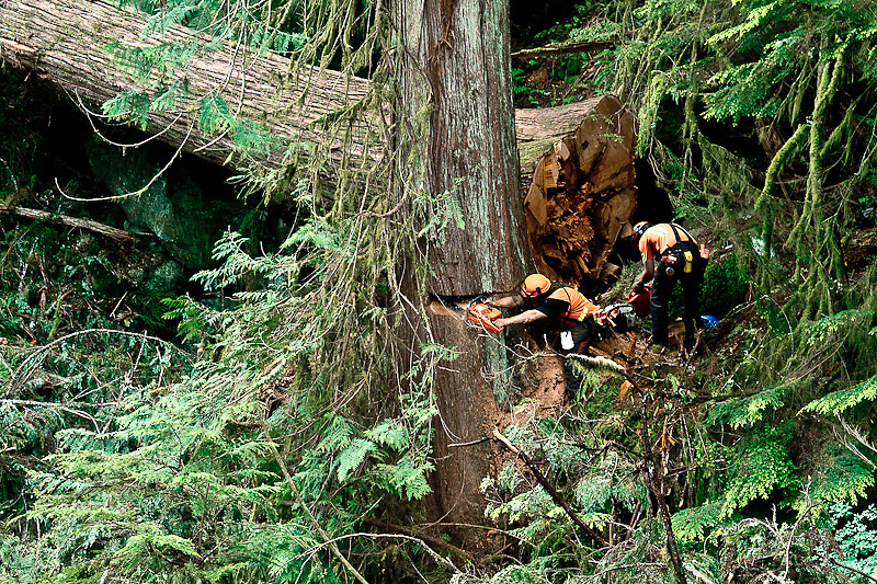 Faller Stu Vaughan starts the back cut on a large Western Red Cedar while falling partner Conner Piece refuels his saw behind him after laying another cedar across the slope near Bute Inlet, June 2012.