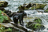Black bear sow and cub along salmon fishing stream