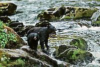 Black bear sow and cub along salmon fishing stream