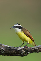 554810212 a wild great kiskadee pitangus sulphuratus perches on a dead mesquite tree limb on laguna seca ranch near edinburg texas united states