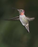 Anna's Hummingbird, Southeastern Arizona