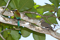 Turquoise-browed motmots are often seen along Costa Rica's central Pacific coast.  This one's sharing a perch with a white-tipped dove.