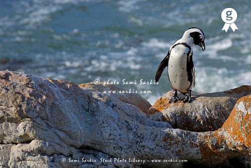 Black footed Jackass penguin (Speniscus demersus) on rock by beach (Licence this image exclusively with Getty: http://www.gettyimages.com/detail/73014020 )