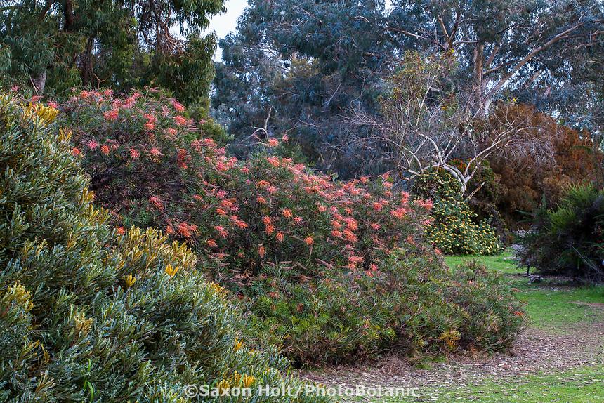 Grevillea 'Superb' flowering in border, University of California UC Santa Cruz Arboretum & Botanic Garden
