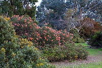 Grevillea 'Superb' flowering in border, University of California UC Santa Cruz Arboretum & Botanic Garden