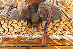 Remington 1100 12 gauge semi-automatic shotgun and a harvested spring turkey.
