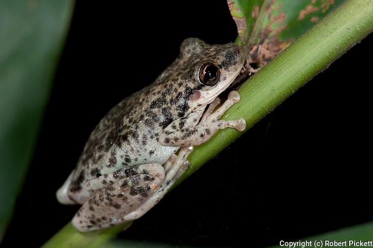 Tree Frog, Leptodactylus Sp. Panama, Central America, Gamboa Reserve, Parque Nacional Soberania