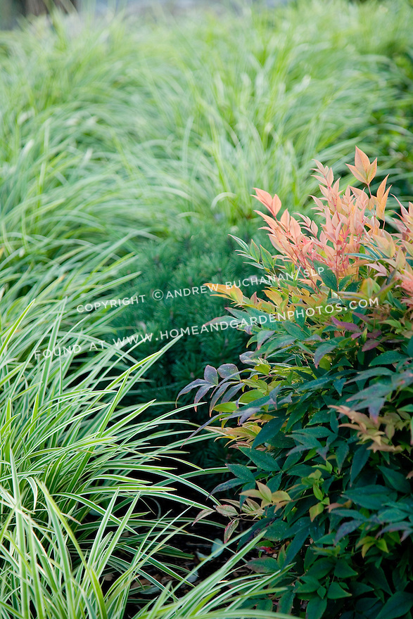 Variegated ornamental grass provides the backdrop for the subtle reds and yellows of a heavenly bamboo plant.