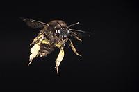 Pelzbiene, Gemeine Pelzbiene, Pelz-Biene, Frühlings-Pelzbiene, Frühlingspelzbiene, Flug, fliegend, Anthophora plumipes, Anthophora acervorum, hairy-footed flower bee, common Central European flower bee, European flower bee, flower bee, flying, flight, l'Anthophore aux pattes poilues