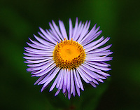 A closeup of subalpine daisy at Zion National Park