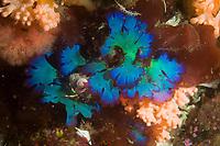Seaweed Red Algae Fauchea laciniata Southeast Alaska