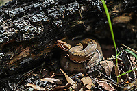 Snake Jingle Bell. Twin - spotted rattlesnake Madrean Diversity Expeditions. Sierra Los Locos in the municipality of San Felipe de Jesus, Sonora, Mexico. MDE, animal, reptile....<br /> ..(Photo:LuisGutierrez/NortePhoto.com)<br /> Snake. Cascabel. Twin - spotted rattlesnake  Madrean Diversity Expeditions. Sierra Los Locos en minicipio de San Felipe de Jesus, Sonora, Mexico. MDE