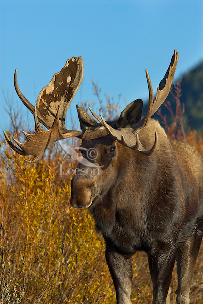 Bull Moose (Alces alces).  Western U.S., Fall.