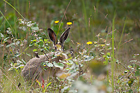 Feldhase, Feld-Hase, Hase, Lepus europaeus, hare, hares