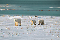 Female polar bear and her two yearling cubs on and afternoon foray along the banks of Hudson Bay.