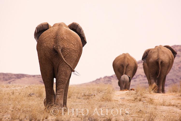 Namibia;  Namib Desert, Skeleton Coast,  desert elephant (Loxodonta africana) breeding heard walking on grassy plain