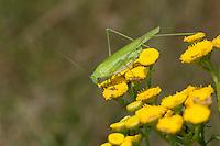 Gemeine Sichelschrecke, Weibchen, Phaneroptera falcata, Sickle-bearing Bush-cricket, Sickle-bearing Bush cricket, female, Phanéroptère commun, Sichelschrecken, Phaneropterinae