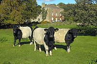 Belted Galloway cattle, Masham, North Yorkshire.