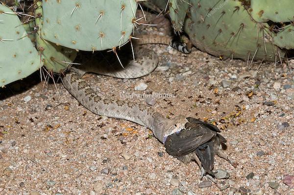 A Western Diamondback Rattlesnake (Crotalus atrox) eating a female Gambel's Quail (Callipepla gambelii), while lying in a trail of Harvester Ants (Pogonomyrmex maricopa)