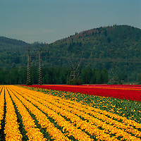 Red and Yellow Tulips blooming in Tulip Field in the Fraser Valley, Southwestern British Columbia, Canada, in Spring