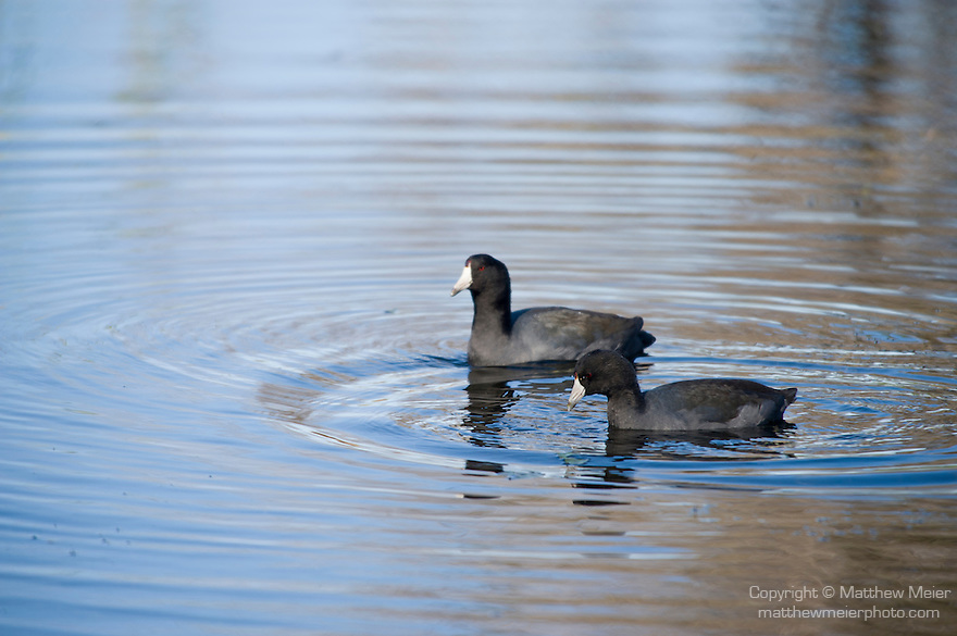 Columbia Ranch, Brazoria County, Damon, Texas; a pair of American Coot (Fulica americana) birds swimming on the water's surface of the slough in afternoon sunlight