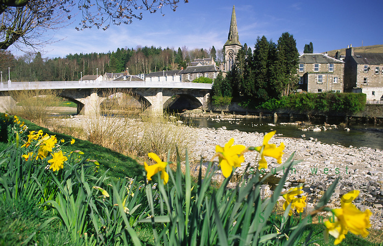 Spring daffodils on the banks of the River Esk looking up to Langholm Bridge biult by Thomas Telford at Langholm Dumfries and Galloway Scotland UK