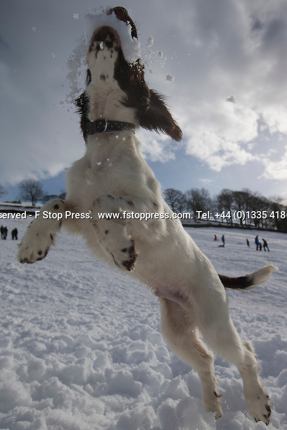 01/02/15<br /> <br /> Fifteen-week-old Springer Spaniel puppy, Chester, learns to catch snowballs on a sledging field near Chapel-en-le-Frith in the Derbyshire Peak District.<br /> <br /> All Rights Reserved - F Stop Press.  www.fstoppress.com. Tel: +44 (0)1335 418629 +44(0)7765 242650