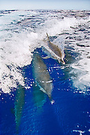 Pantropical Spotted Dolphins, Stenella attenuata, riding boat wakes, off Kona Coast, Big Island, Hawaii, Pacific Ocean.