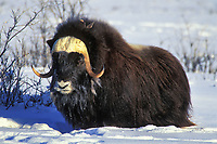 Bull Musk Ox on Alaska's snowy Arctic Coastal Plain, Arctic National Wildlife Refuge.