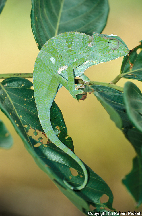 Green Chameleon, just shed skin, on leaf, West Africa.Gambia....