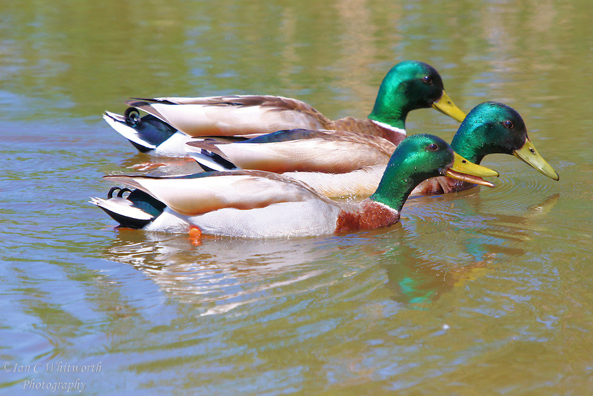 Three male mallard ducks race across a pond