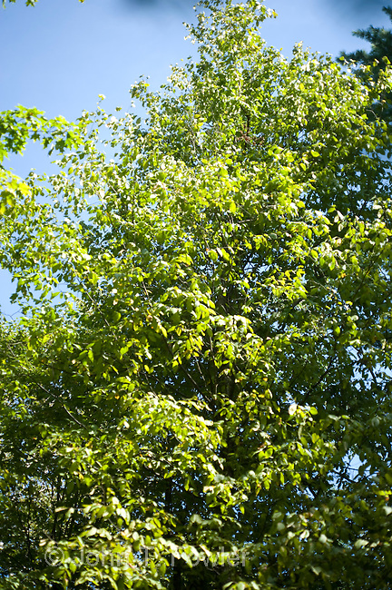 Hop-hornbeam (Ironwood) treetree